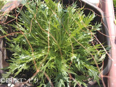 20110227 水菜 15番プランター