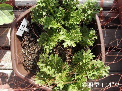 20110306 わさび菜