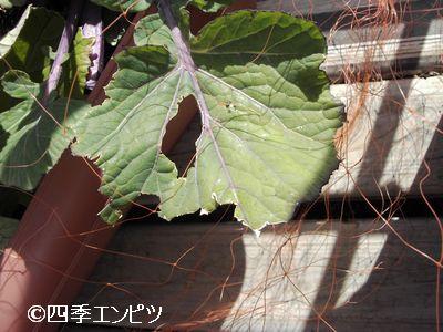 20110306 紅菜苔 2