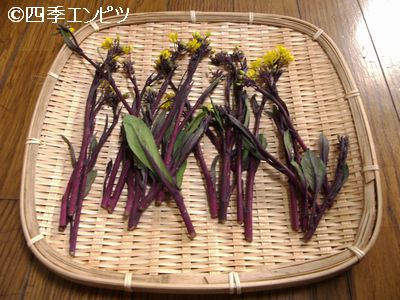 20110306 紅菜苔 収穫