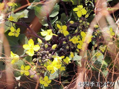 20110227 紅菜苔 2