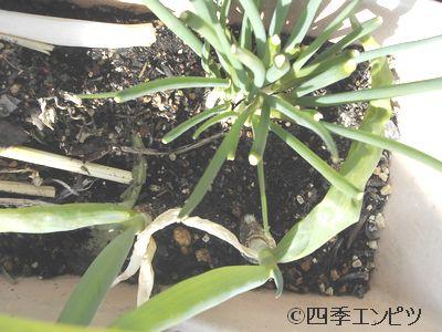 20110306 再生ネギ 仮植え