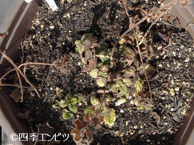 20110306 レモンバーム