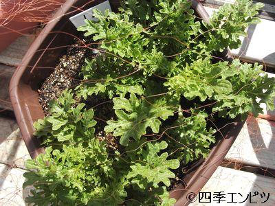 20110313 わさび菜