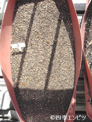20110313 紅ジャガイモ 1番プランター
