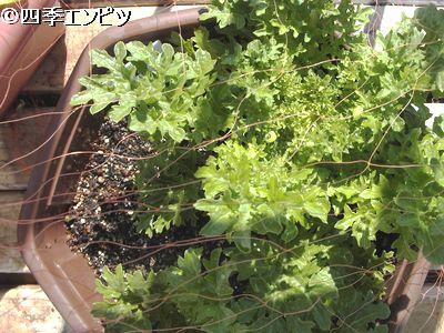 20110326 わさび菜