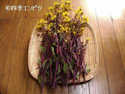 20110326 紅菜苔 収穫