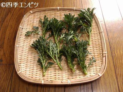 20110326 春菊 収穫
