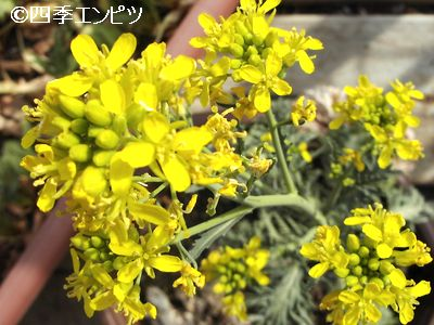 20110417 わさび菜 花のアップ写真