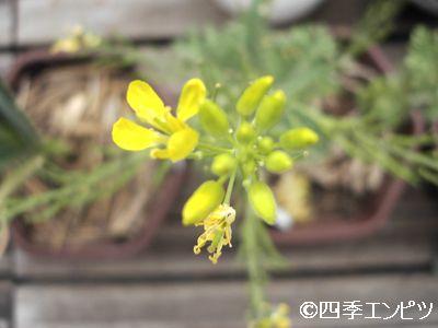 20110430 わさび菜