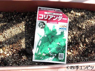 20110508 コリアンダー 種蒔き