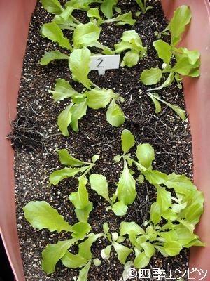 20110514 チマサンチュ 収穫後