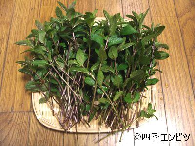 20110514 ペパーミント 収穫