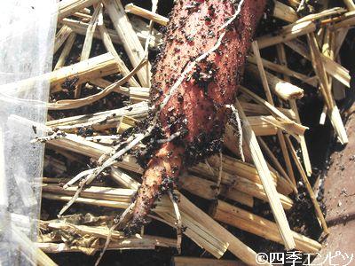 20110508 サツマイモ 生死の確認 2