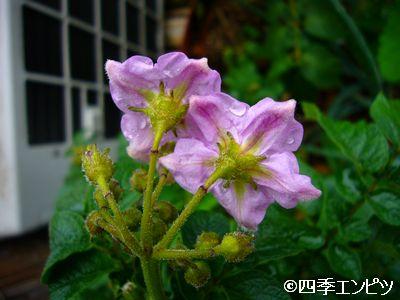 20110522 紅ジャガイモ 1番P 花