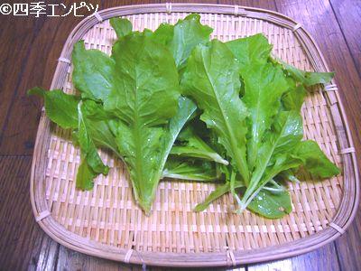20110522 チマサンチュ 収穫