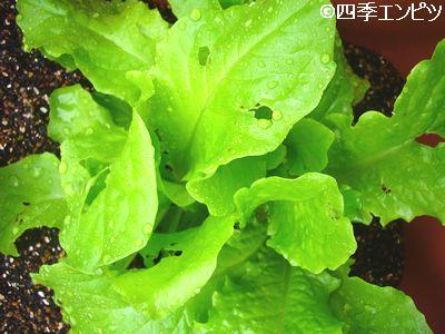 20110529 チマサンチュ 2 虫食い