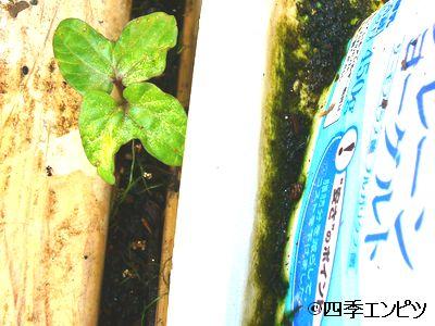 20110611 あさがお 2