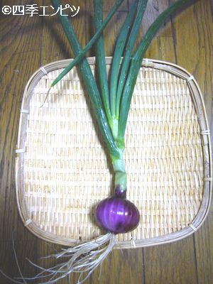 20110529 赤タマネギ 収穫