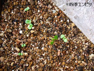 20110611 紫蘇 スイートバジル