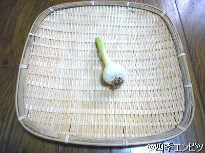 20110605 ニンニク 収穫