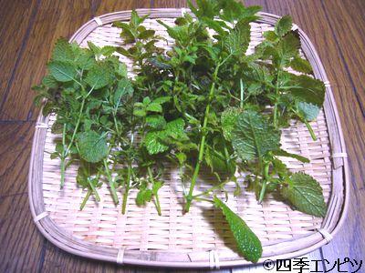 20110611 レモンバーム 収穫