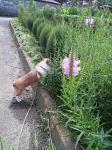 畑に咲いていたお花f^^:と我が家のリンさん^m^