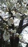 桜その2♪