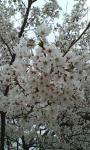 桜UP^^
