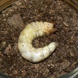 ニジイロのの菌糸ビン交換1