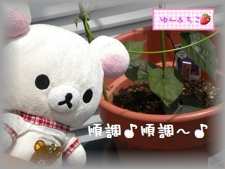 ちこちゃんのあさがお観察日記★3★まきまき~♪-4