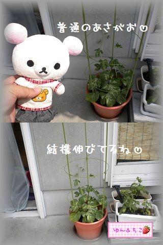 ちこちゃんのあさがお観察日記★4★大きくなってましゅ-3