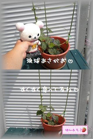 ちこちゃんのあさがお観察日記★4★大きくなってましゅ-2