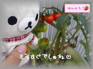 ちこちゃんの観察日記2011★11★もうすぐ1回目の収穫-2