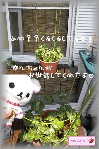 ちこちゃんのあさがお観察日記★5★急成長~♪-3