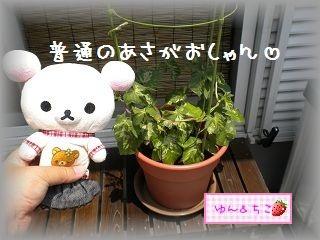 ちこちゃんのあさがお観察日記★5★急成長~♪-2