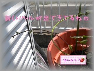 ちこちゃんのあさがお観察日記★5★急成長~♪-6