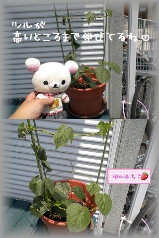 ちこちゃんのあさがお観察日記★5★急成長~♪-5