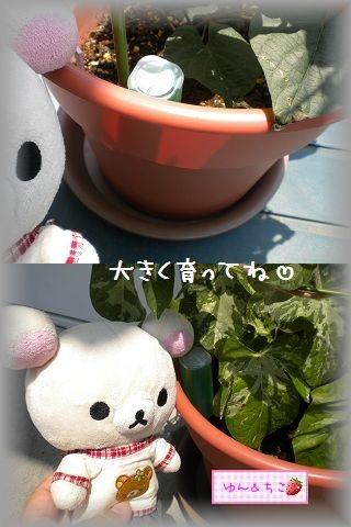 ちこちゃんのあさがお観察日記★5★急成長~♪-8