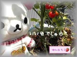 ちこちゃんの観察日記2011★13★明日は最初の収穫でしゅ♪-2