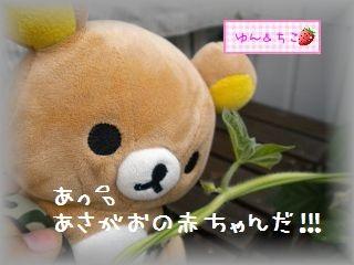 ちこちゃんのあさがお観察日記★7★つぼみ??-3