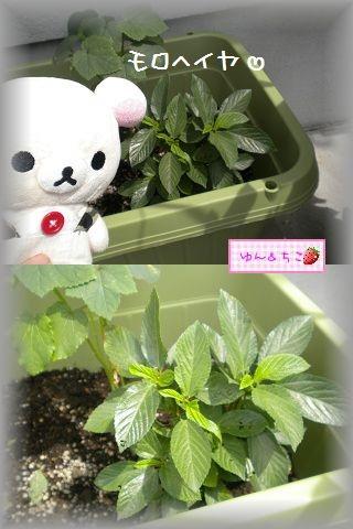 ちこちゃんの観察日記2011★16★少しずつ収穫and more…-6