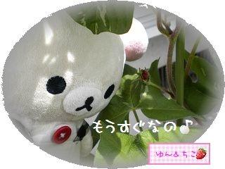 ちこちゃんのあさがお観察日記★8★もうすぐ咲くかな-2