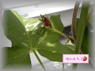 ちこちゃんのあさがお観察日記★8★もうすぐ咲くかな-3