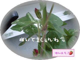 ちこちゃんのあさがお観察日記★9★まだ咲かないね・・・-1
