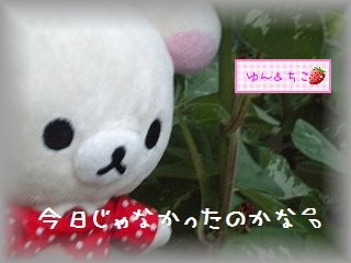 ちこちゃんのあさがお観察日記★9★まだ咲かないね・・・-2