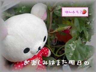 ちこちゃんのあさがお観察日記★9★まだ咲かないね・・・-3