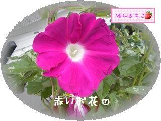 ちこちゃんのあさがお観察日記★10★最初のお花♪-3