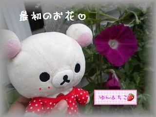 ちこちゃんのあさがお観察日記★10★最初のお花♪-2