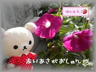 ちこちゃんのあさがお観察日記★12★白いの咲いたよ-2
